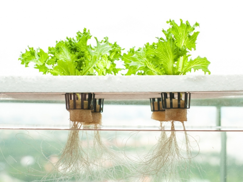 Lettuce grown hydroponically. Image via Aquagardening.
