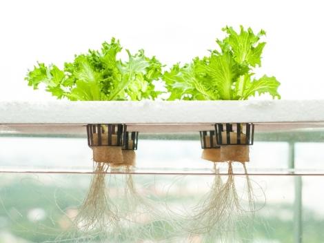 Lettuce grown hydroponically. Image via Aquagardening.