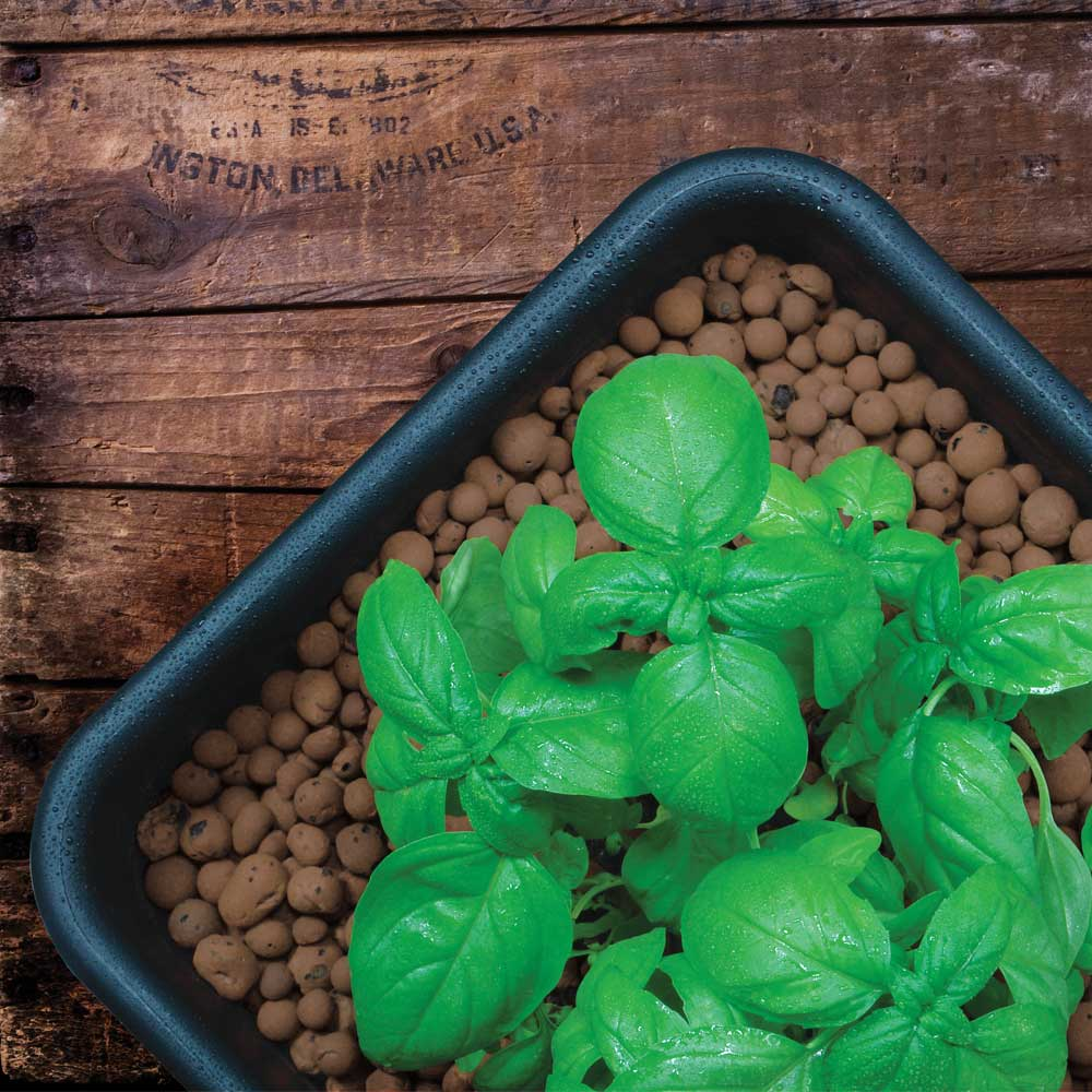 Basil being grown in a medium of clay pebbles via hydroponics. Image via Powerhouse Hydroponics.