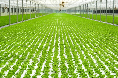 Lettuce growing in a hydroponic greenhouse. Image via Family Farming.